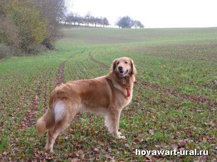 поля, поля - мечта следовой собаки