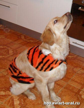 Примерка тигриной шкуры!