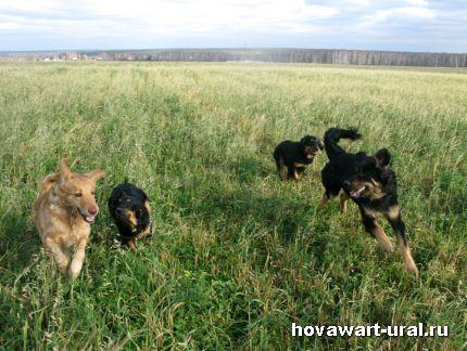 Бесячки на овсяном поле
